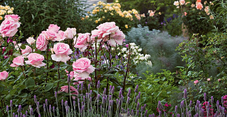 tunderea trandafirirlor