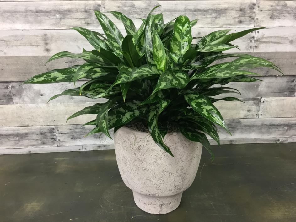 Aglaonema-plante usor de intretinut