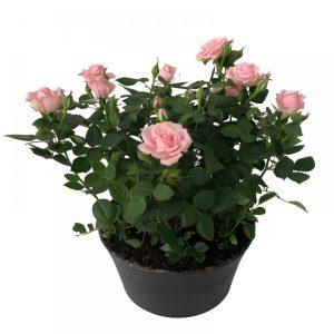 Trandafiri -Rosa
