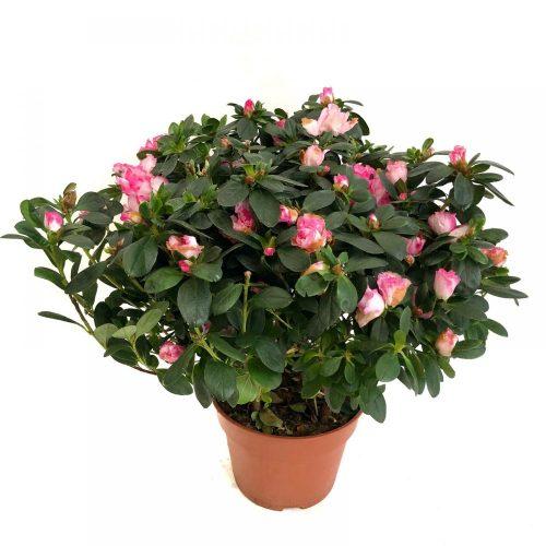 azalee rhododendron la ghiveci