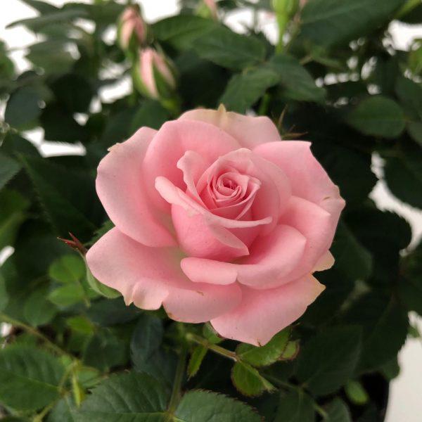 trandafir detaliu