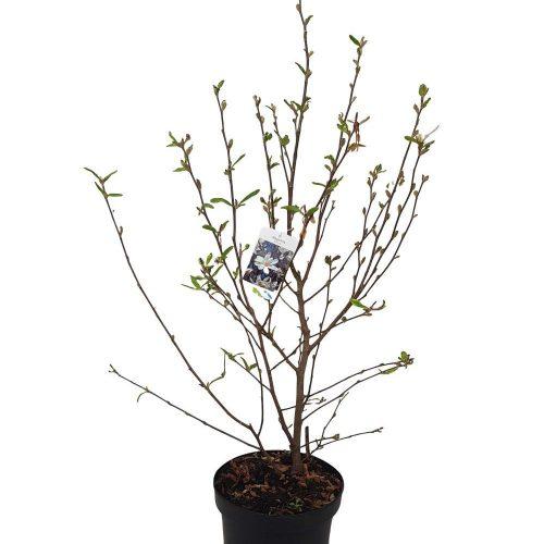 Magnolia stellata inaltime 70-85 arbore ornamental