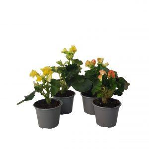 Begonia eliator standard