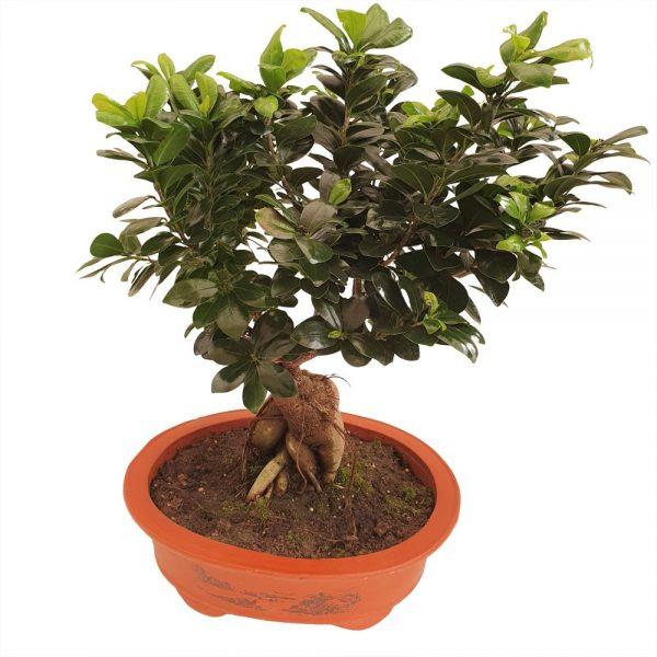 bonsai ficus ginseng ghiveci ceramica oval