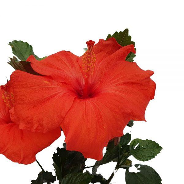 hibiscus - trandafirul chinezesc detaliu