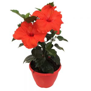 hibiscus - trandafirul chinezesc