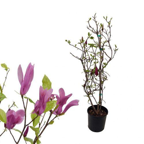 magnolia soulangeana - gradina