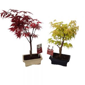 Bonsai Ghivechi Acer