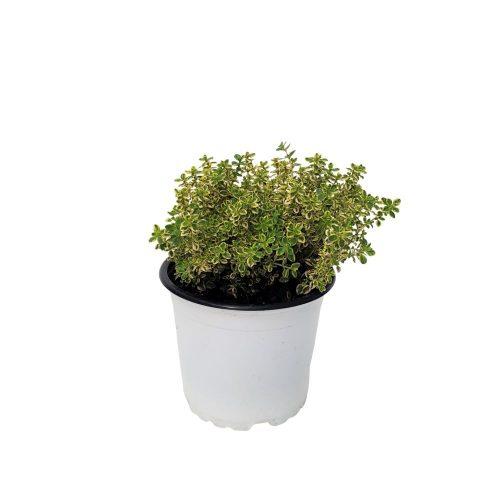 Thymus bicolor-Cimbrisor Grecia