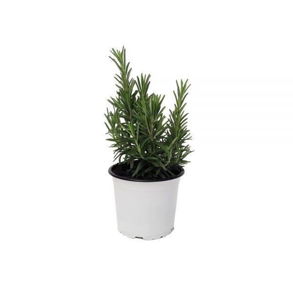 Rosmarin-Planta aromatica Grecia