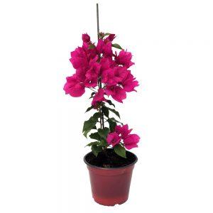 Bougainvillea 3 planta-Floarea de hartie