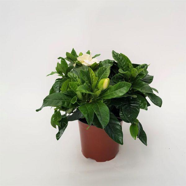 Gardenia Grecia