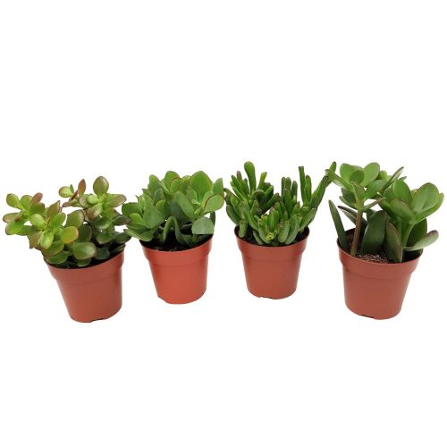 Crassula mini-mix de sortimente