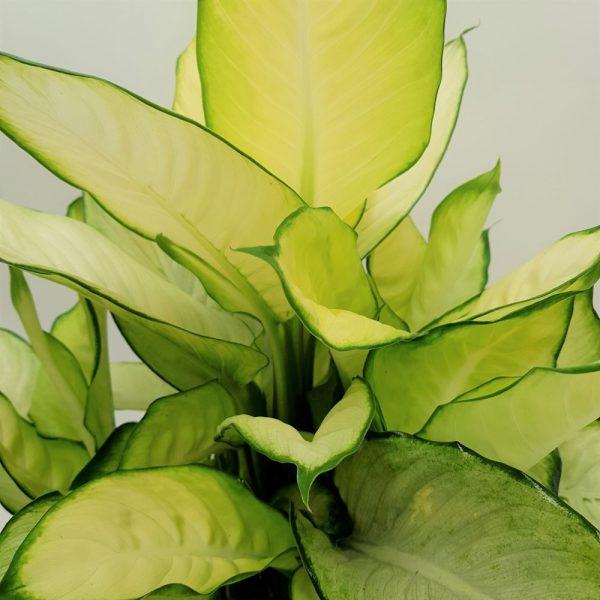 Dieffenbachia Extra