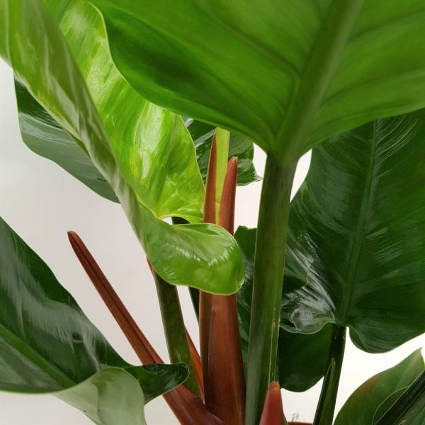 Philodendron Imperial-green