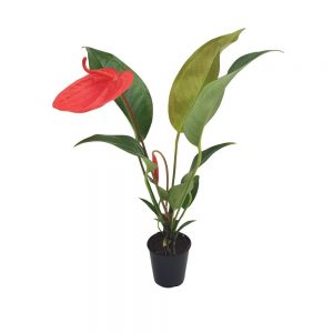 Anthurium mini