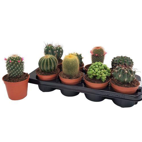Cactus mixt