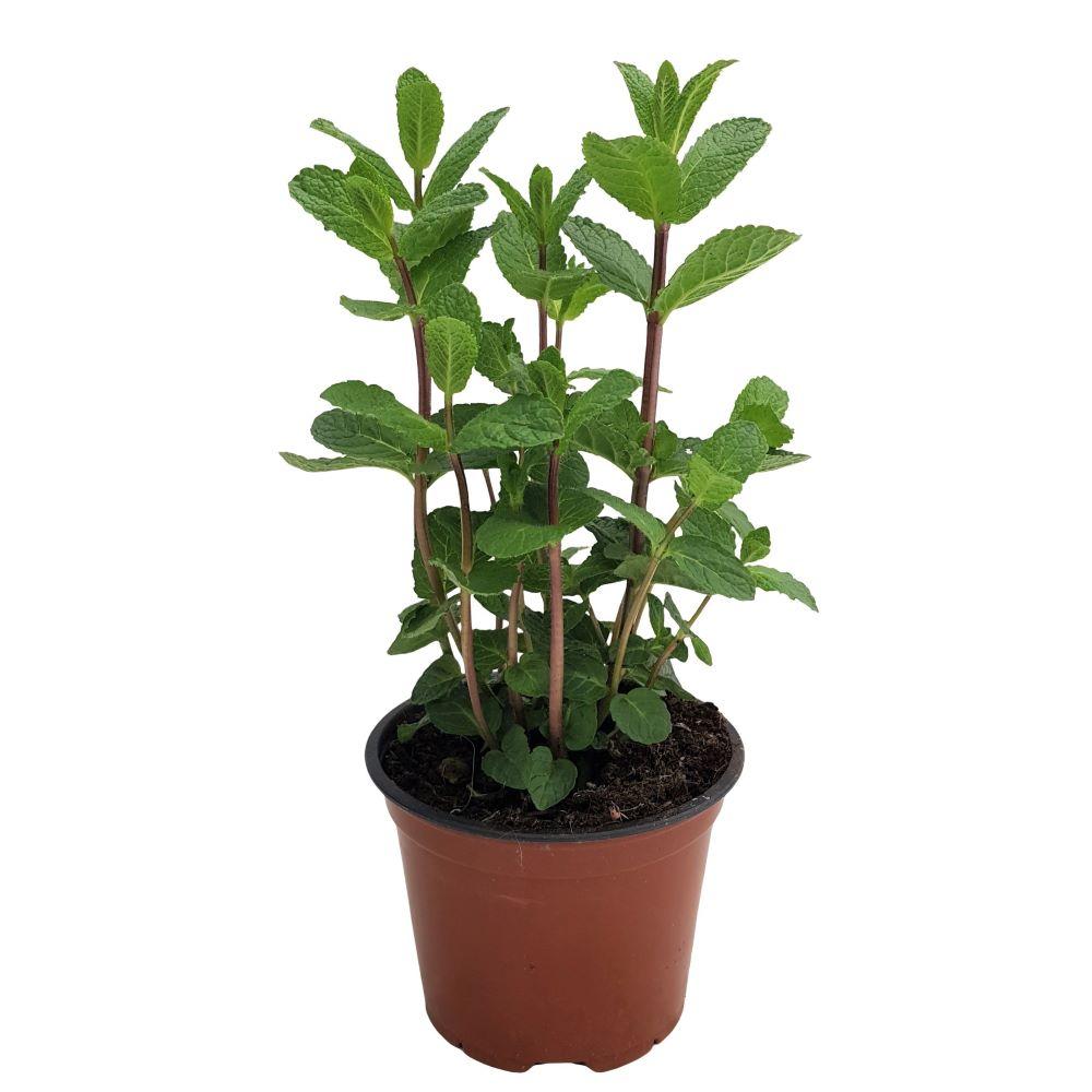 Menta-Planta aromatica Grecia