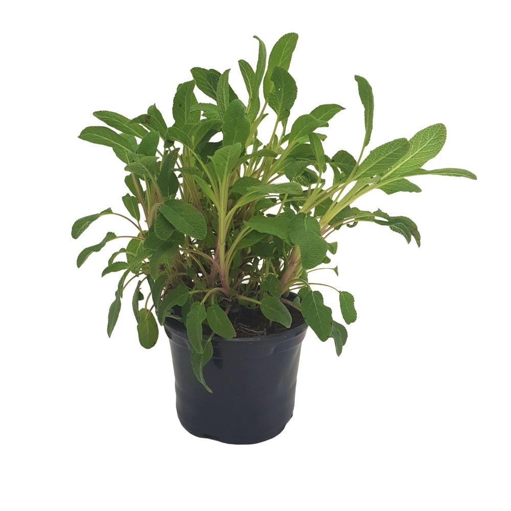 Salvia-planta aromatica Grecia