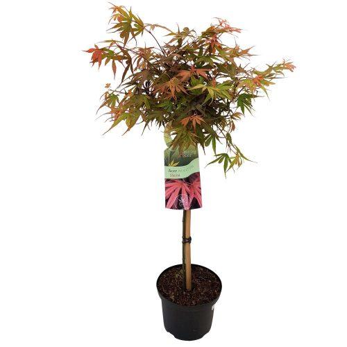 Acer palmatum pe picior