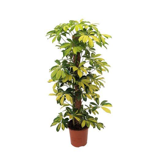 Schefflera Gold Capella 80 cm