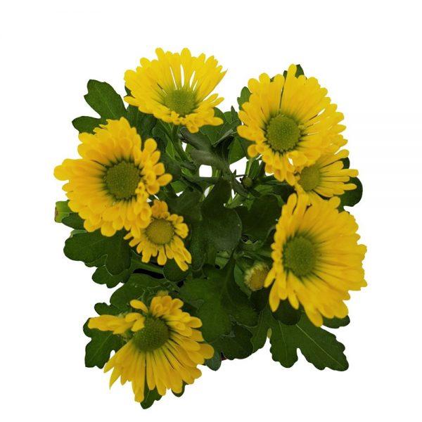 Crizantema Mini