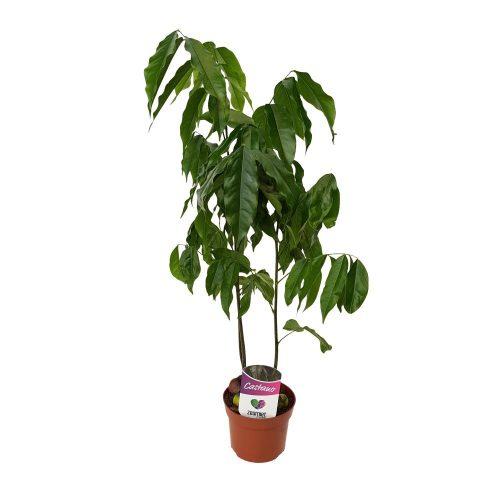 Castanospermum-Castan