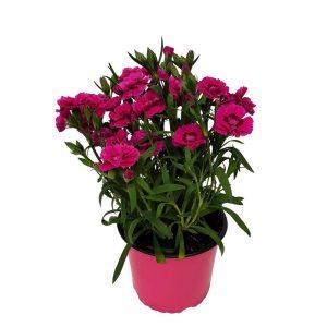 Dianthus Garofite-Grecia