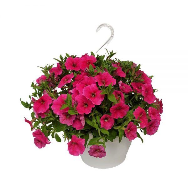 Petunia bol multicolor
