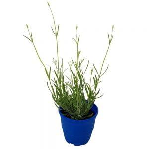 Lavanda angustifolia - Lavandula