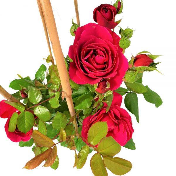 Rosa Garden