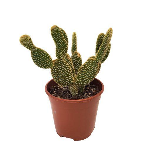 Opuntia Microdasys - Cactus urechi de iepure
