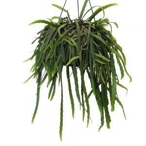 Lepismium Bolivianum - Cactusul de padure