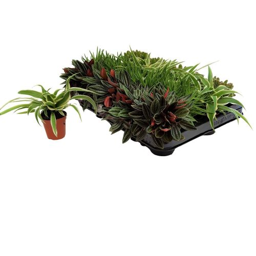 Plante mixte mini