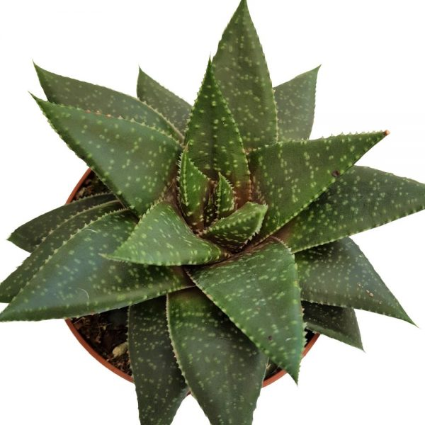 Aloe aristata - Decorativa