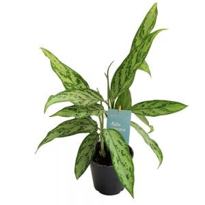 Aglaonema Silver Queen D 14