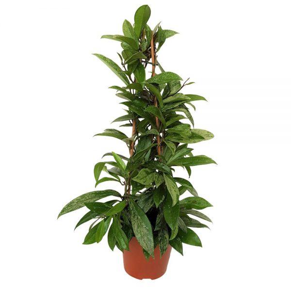 Hoya carnosa piramida