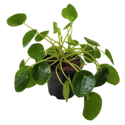 Pilea Peperomioides Extra- Planta placinta
