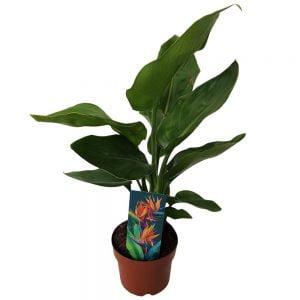 Strelitzia reginae green