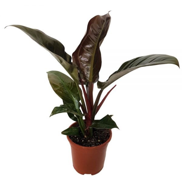 Philodendron Imperial-red