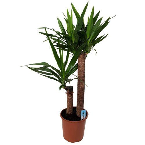 Yucca 2 Tulpini D 21
