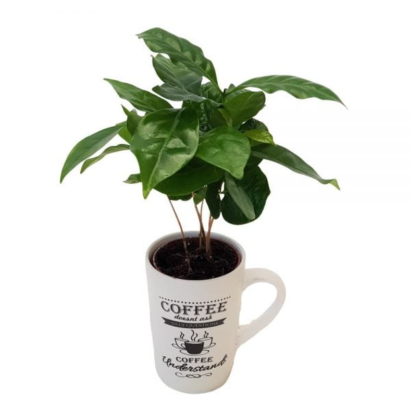Arbore de cafea - Coffea Arabica in cana coffe time
