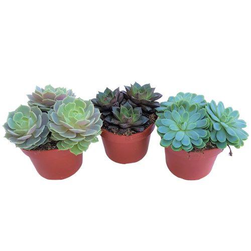 Suculente mixt 3 plante