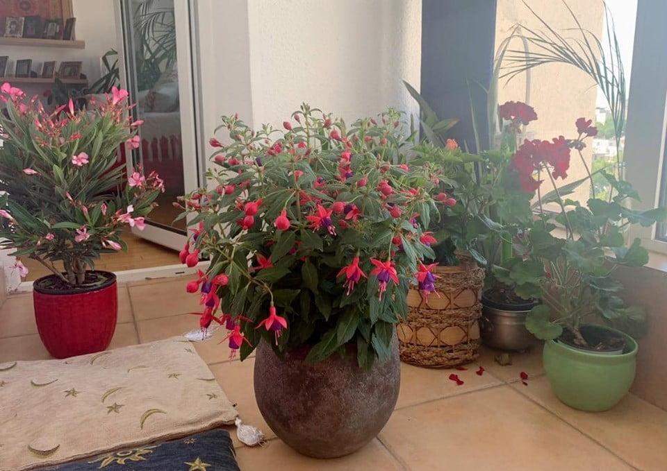 fuchsia cercelus -1