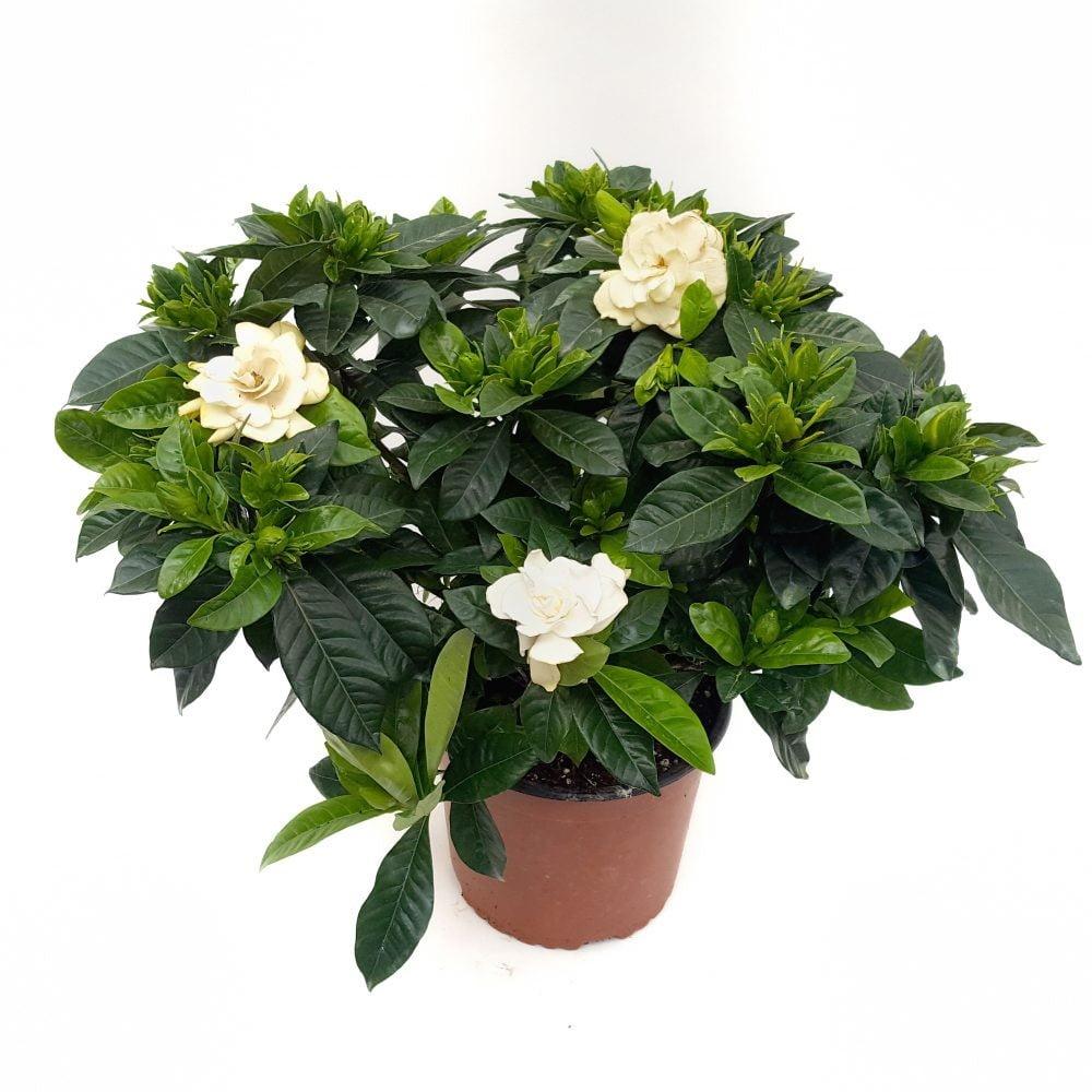 gardenia jasminoides 2