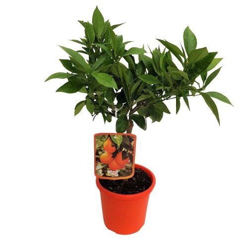 Citrus Sinensis Arancio
