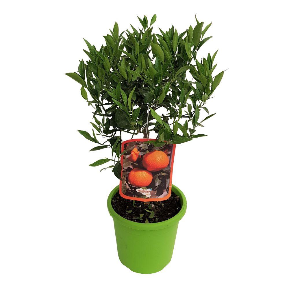 Citrus Reticulata Mandarino