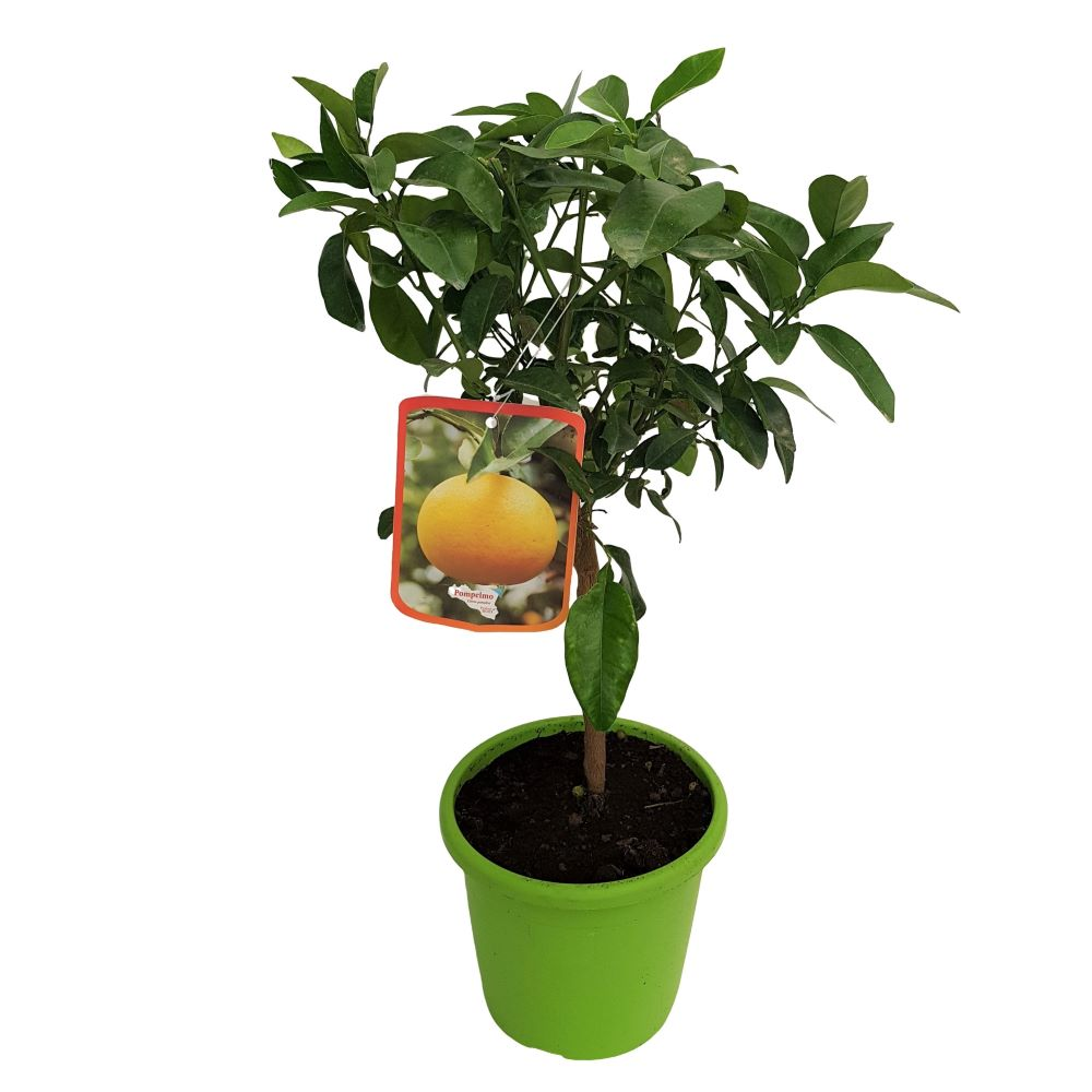 Citrus Paradisi Pompelmo