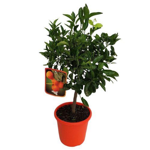Citrus Clementina Clementino