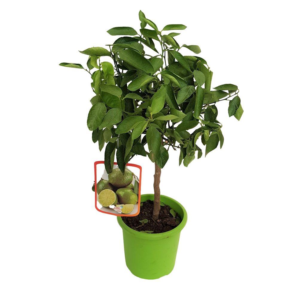 Citrus Aurantifolia Lime
